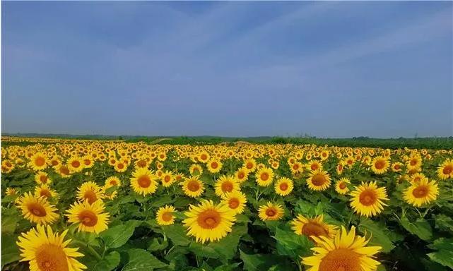 """夏日炎炎,黄河岸边百亩""""向阳花""""再现""""婀娜身姿""""缩略图"""